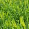 Jaká jsou rizika užívání zeleného ječmene?